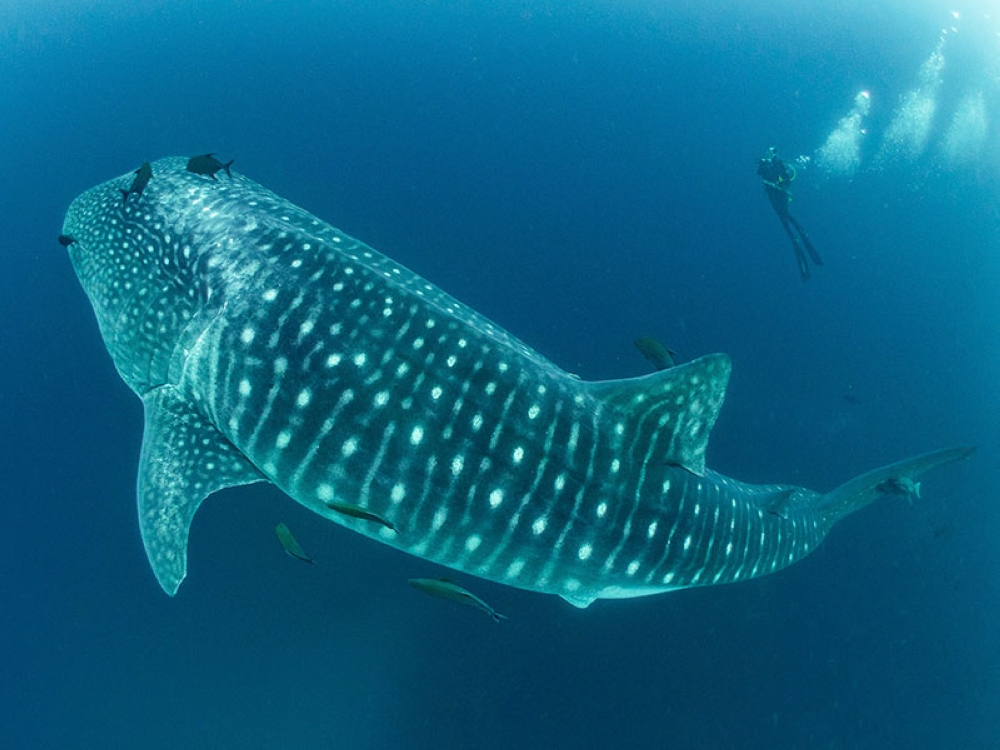ECUADOR. In this 2017 photo provided by Simon Pierce, a whale shark swims past Alexandra Watts in the Galapagos Islands area of Ecuador. (AP)