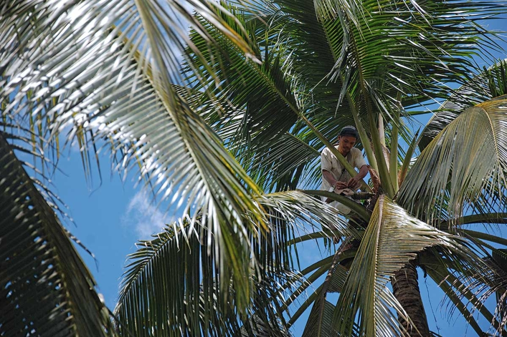 DAVAO. In 2018, a total of 1.4 million coconut trees are to be planted in Davao Region specifically in the ancestral domains of the Ata Manobos and the Obu Manuvu. (Photo from Coconut Sugar Philippines)