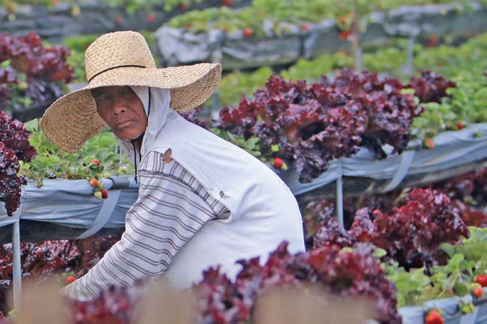 BENGUET. A farmer in La Trinidad, Benguet tends to his lettuce and strawberry plants. In nearby Atok, farmers are still reeling from the loss of their vegetable crops following an almost one hour of hailstorm on Saturday. (Milo Brioso)
