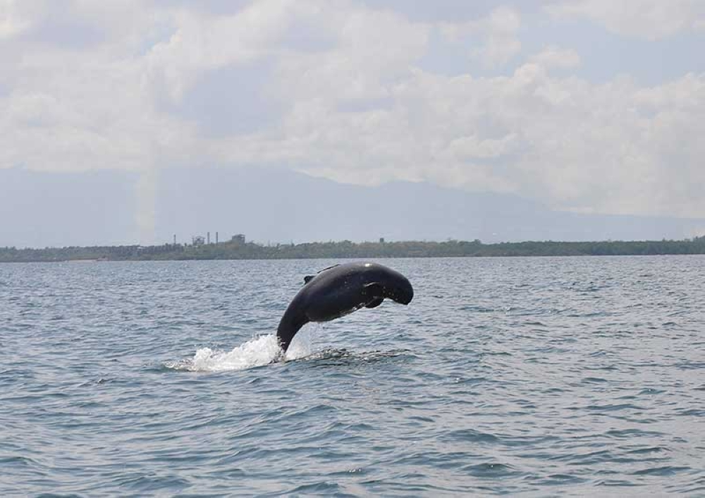 "In a very rare photo captured Thursday, May 10, by Kaila Ledesma Trebol of PRRCFI, a critically endangered Irrawaddy dolphin nicknamed by researchers as ""Topnick"" jumps out of the waters in Bago-Pulupandan and displays her ""baby bump"" during an ongoing research survey conducted by the University of Saint La Salle."