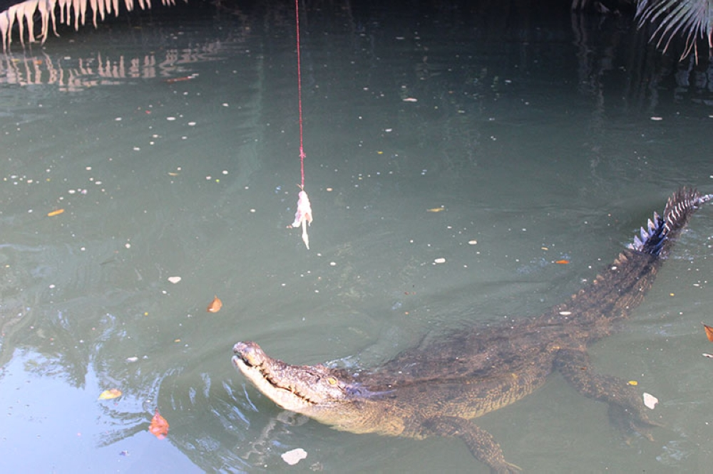 PALAU. A saltwater crocodile showed up from the water, preparing for a jump to get the fresh chicken meat. (Rhealyn C. Pojas)