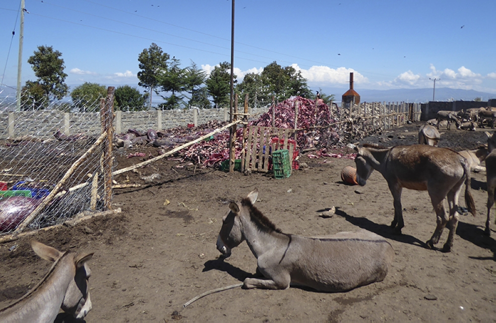 KENYA. In this May 2017, photo provided by The Donkey Sanctuary Kenya, donkeys are kept in a holding area that adjoins a dump site for skinned rotting donkey carcasses, at a slaughter center in Naivasha, Kenya. From Kenya to Burkina Faso, Zimbabwe to Nigeria, agents are seeking to feed China's insatiable appetite for a gelatin called ejiao in Chinese, made from stewed donkey skins that purports to provide health benefits. (The Donkey Sanctuary Kenya via AP)