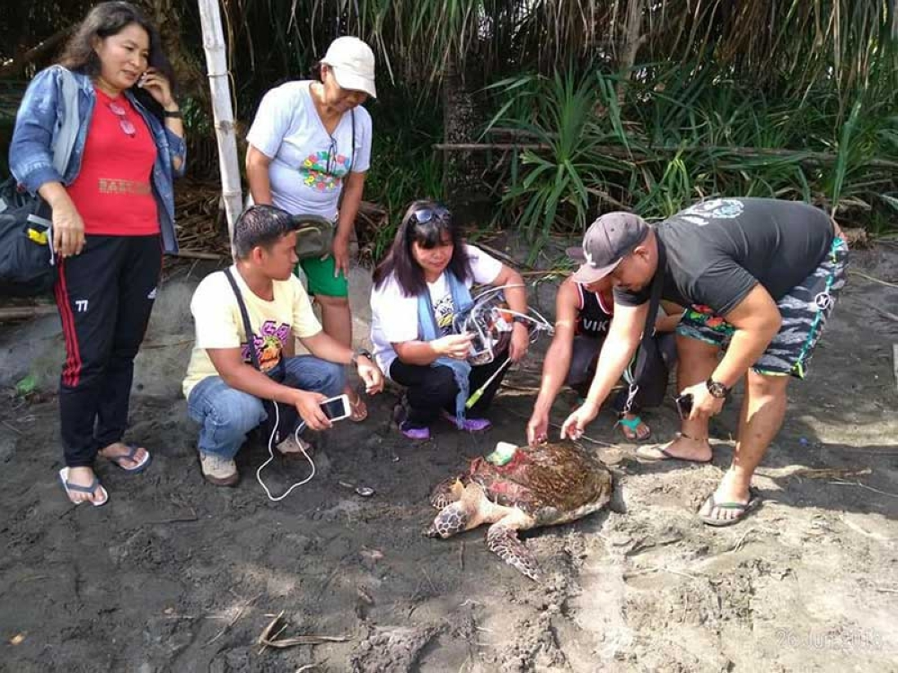 A dead Hawksbill sea turtle with a tracking device (inset photo) and metal tags was found dead in Cauayan town yesterday morning, June 26. (Contributed Photos/Ma. Elena San Jose)
