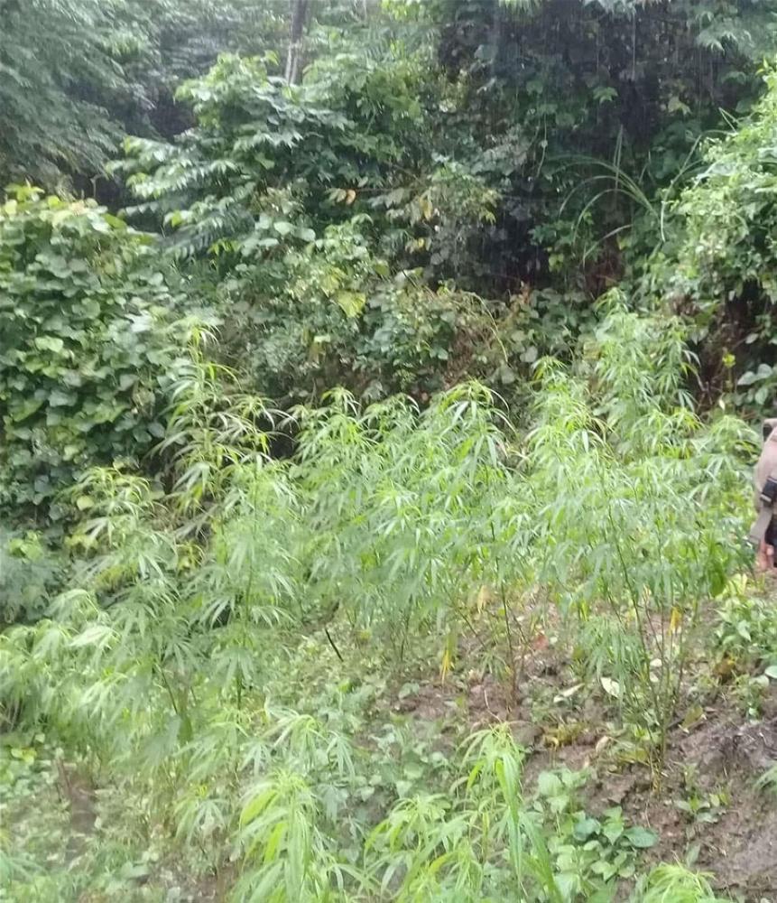 CEBU. Anti-narcotics personnel of Cebu Provincial Police Office (CPPO) uprooted 3,824 fully-grown marijuana plants past 4 p.m. Wednesday, July 4, in the mountain village of Bayong, Balamban, Cebu. (Photo courtesy of Balamban Police Chief Deni Mari Pedrozo)