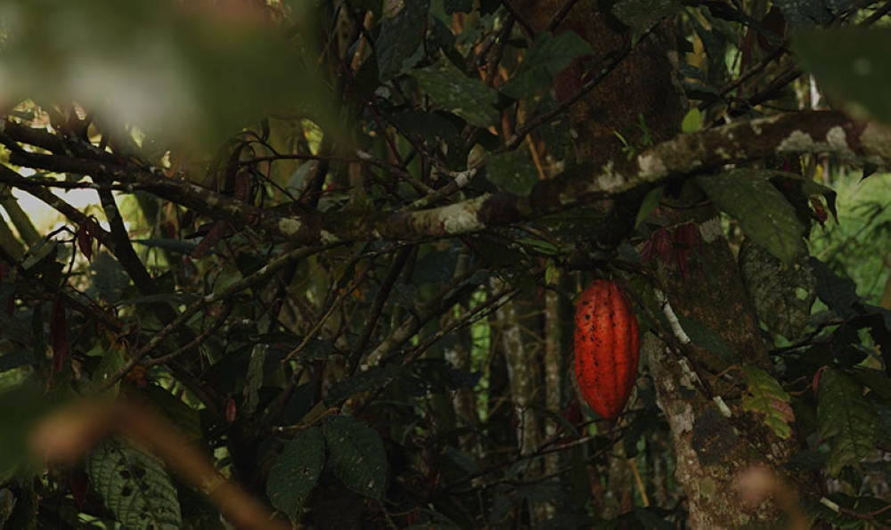 DAVAO. Davao is one of the biggest producers of cacao in the country. (Photo by Ace Perez)
