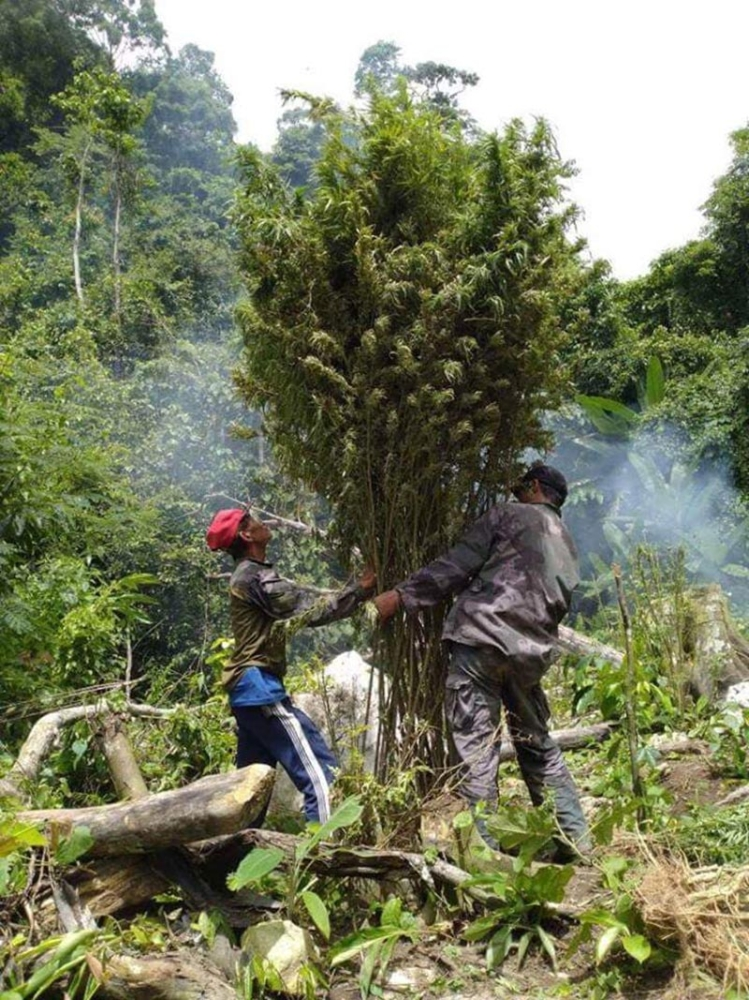 CEBU. About 16,000 marijuana plants worth P3.8 million in the mountain villages of Balamban, Cebu City and Asturias were uprooted and burned by authorities in the past two days. (Photo courtesy of Regional Special Operations Group-Central Visayas)