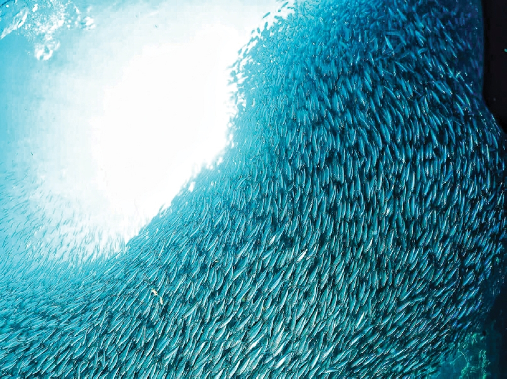 Sardine Run. Get caught in a whirlpool of sardines.