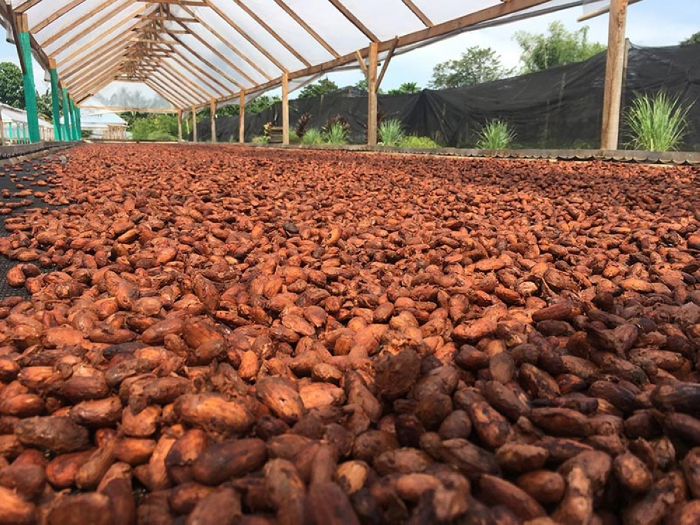 Fermented wet cacao beans being dried at Kennemer Foods International as part of making sure high-quality flavored chocolate products will be produced. (Contributed photo)