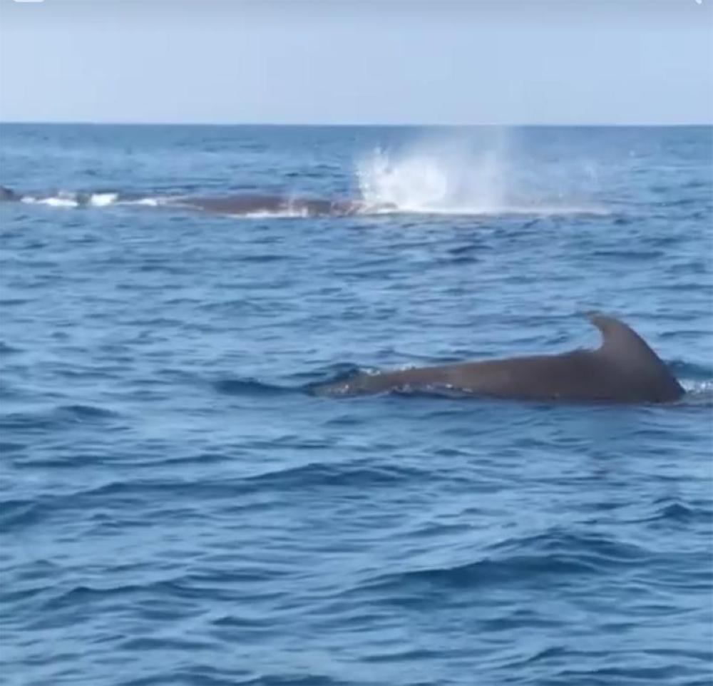 SALAY. Ang blue sperm whale nga nasiplatan sa lungsod sa Salay, Misamis Oriental. (Contributed photo)