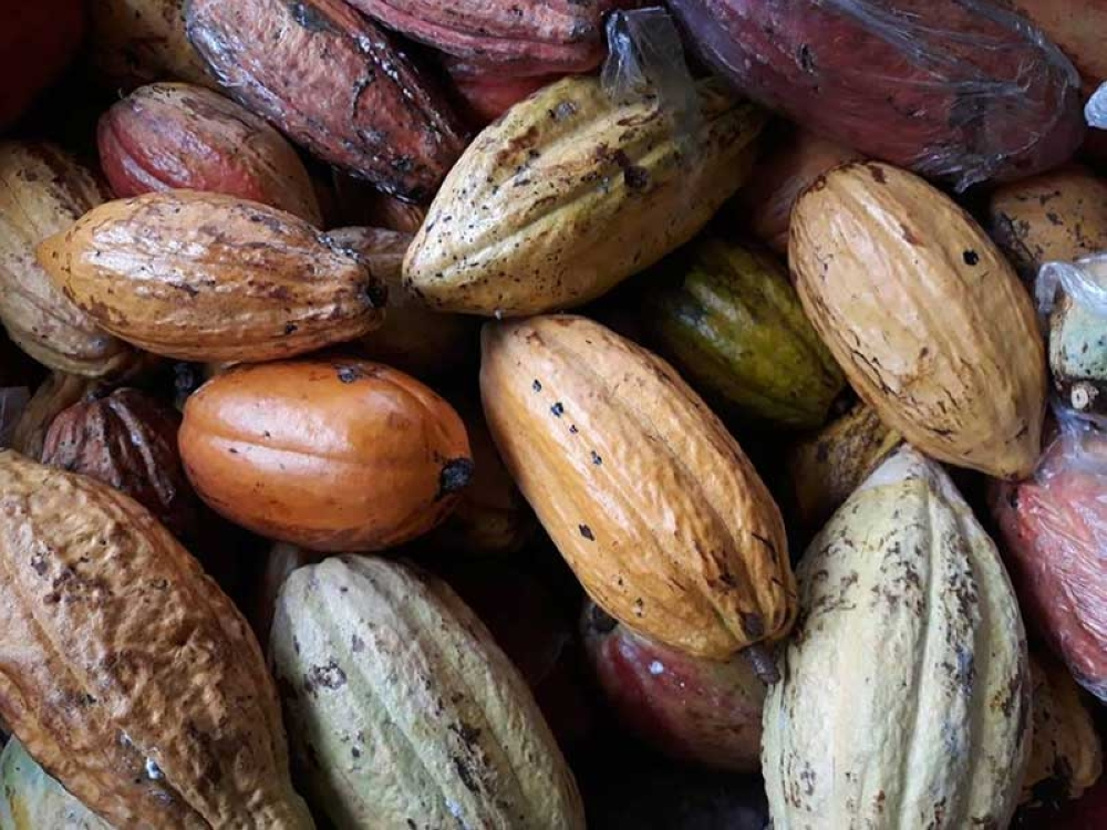 CACAO TALK. Cacao Konek, a cacao and chocolate conference, will put centerstage the Davao cacao industry. (Ace June Rell Perez)