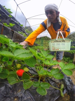 INSTANT HIT. Tourists have flocked to Sergio's farm in Barangay Maloray, Dalaguete, Cebu to pick strawberries after it went viral on social media. A former tourism official has noted a rise in farm tourism and urged Filipino farm owners to turn their farms into attractions to maximize the country's potential in agriculture. (SunStar file photo)