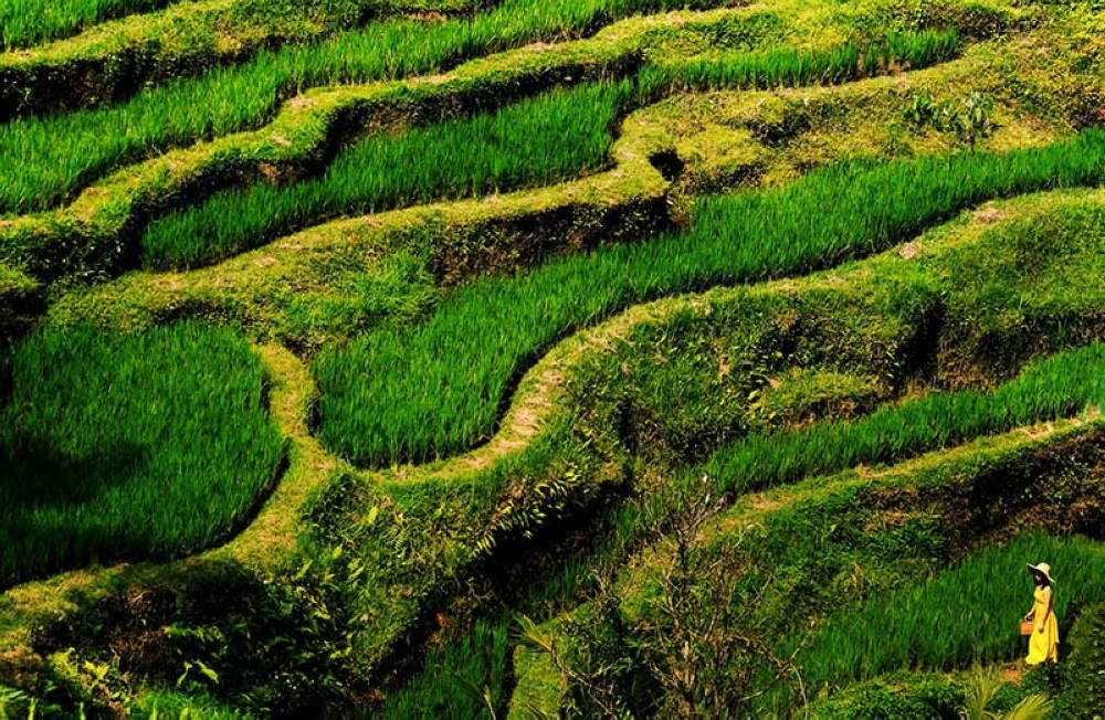 Tegallalang Rice Terraces. (Photo by Jojie Alcantara and Rose Razon)