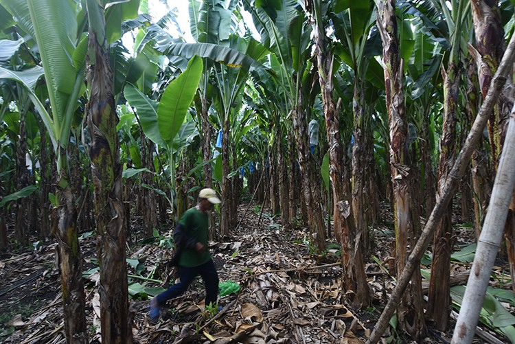 Life goes on. A man works in a banana farm in Lamintak Norte in Medellin. Medellin was one of 15 towns and one city that were devastated when super typhoon Yolanda struck northern Cebu on Nov. 8, 2013. (SunStar Foto / Allan Cuizon)