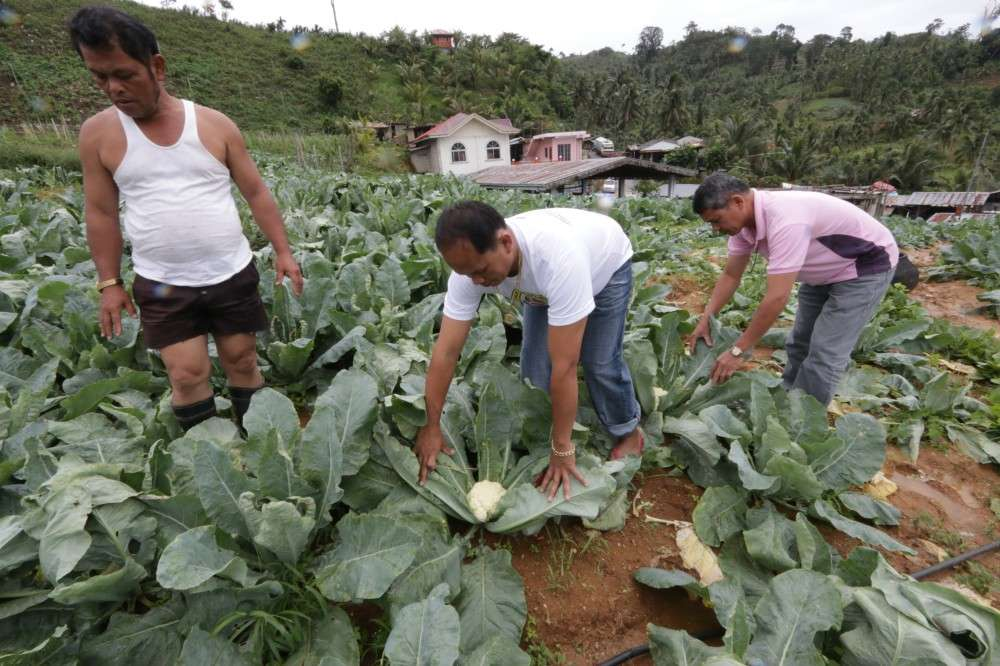 HARVEST TIME. Farmers inspect their cauliflower plants in a mountain village in Argao town. The business sector in Central Visayas wants the government to work on improving agricultural production. SUNSTAR FILE