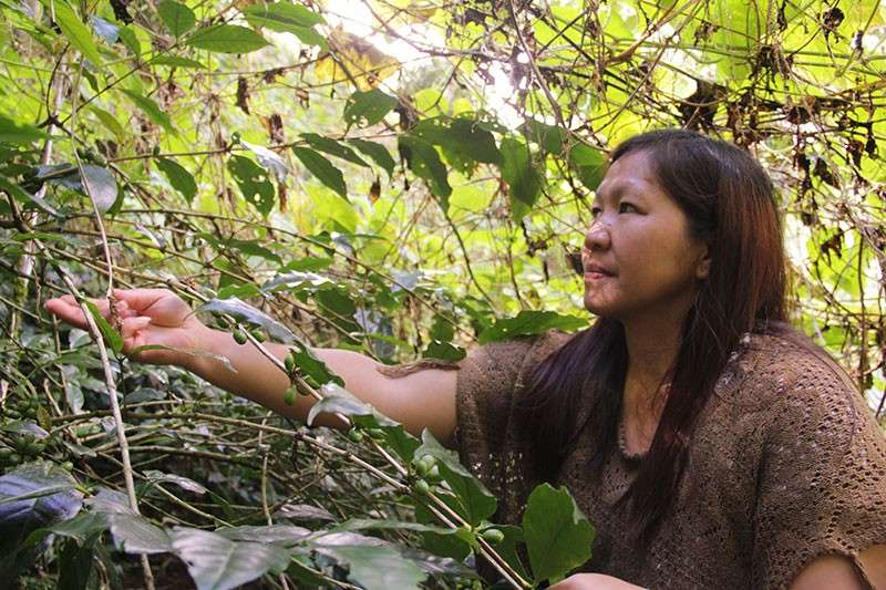 BENGUET. Coffee farmer Eden Evasco Bidang of Caliking in Atok  diversify their farm with other plants in their yard namely Alnus and Sayote. (Contributed Photo)