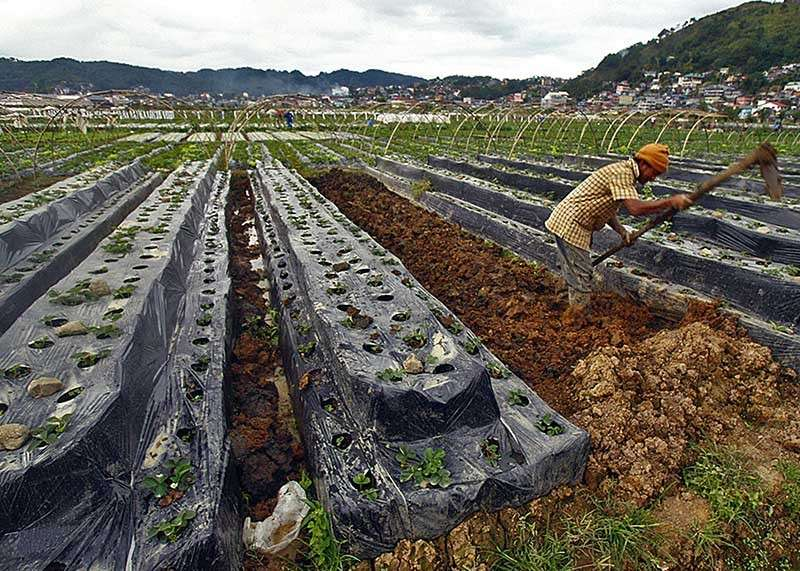 BENGUET. A farmer tills his land as strawberry planting season is now in full swing at the La Trinidad strawberry farm, a tourist destination famous for strawberry picking. (SunStar Baguio File Photo)