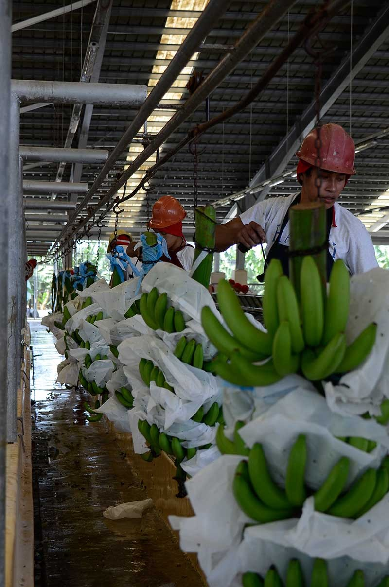 DAVAO. Struggling industry? While it is one of the top industries in the region, challenges in the international market continues to hound the banana industry in Davao Region. (Contributed Photo)