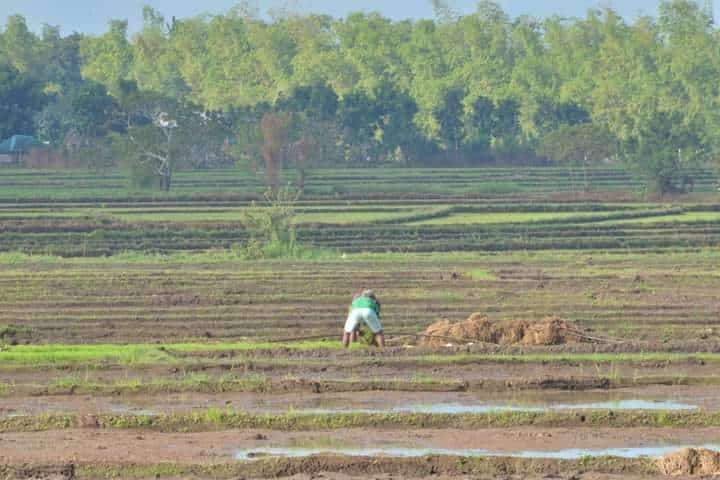 NEGROS. The Philippine Crop Insurance Corp. notes that thousands of recipients mostly farmers in Negros Occidental have availed various crop insurance programs last year. (Richard Malihan)