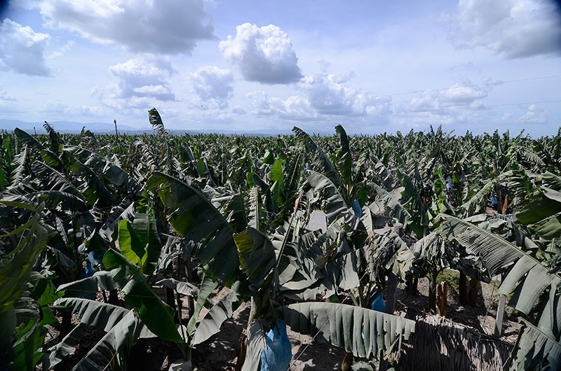 DAVAO. Thousands of hectares of banana plantations have been affected by the dreaded Panama Disease in the last five years. Despite the uphill battle, the industry is hopeful that new solutions will be created. (File photo)