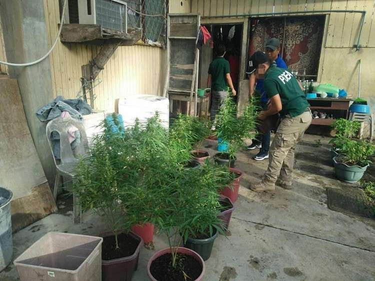 TAGBILARAN. Marijuana plants grown inside pots in a backyard were confiscated by operatives of PDEA. (PDEA Region VII)