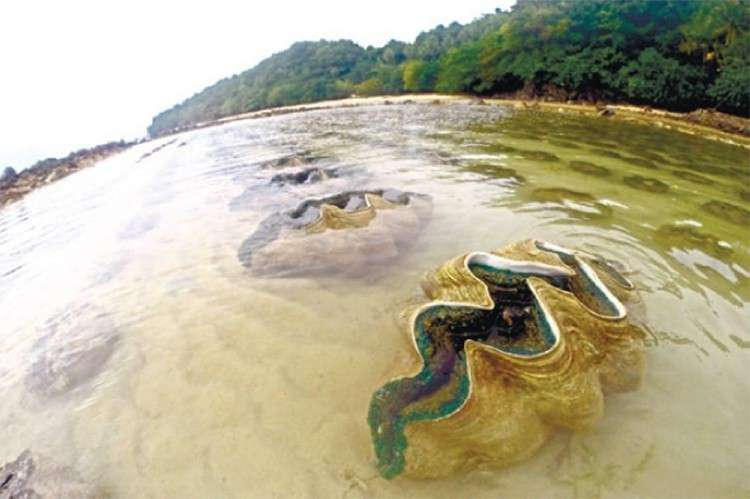 CEBU. Giant clams are now considered endangered species. (SunStar file)