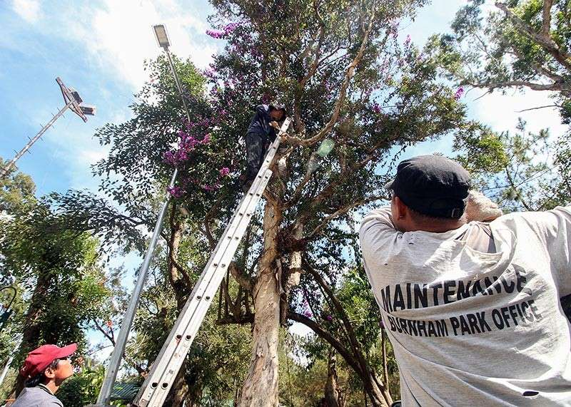 BAGUIO. Park attendants at Burnham Park cut a few barks of trees to pave way for the newly installed street lights at the park. (Jean Nicole Cortes)