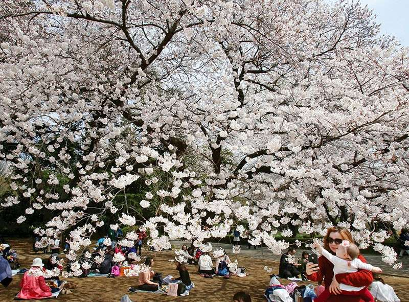 Visitors enjoy the cherry-blossom viewing at Shinjuku Gyoen national garden in Tokyo. At the garden, people laid down picnic sheets to enjoy hanami, which is a Japanese custom of flower viewing. (AP)