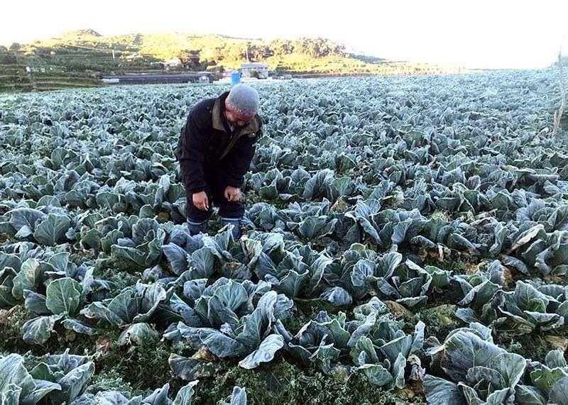Frost damage to Benguet vegetables 'minimal' - SUNSTAR
