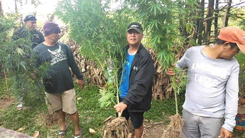 NEGROS. The police of E.B. Magalona Municipal Police Station in Negros Occidental led by Senior Inspector Jaynick Bermudez uprooted seven suspected marijuana plants in Barangay Alicante on Saturday, February 2. (Photo courtesy of E.B. Magalona Municipal Police Station)