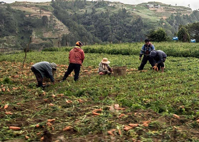 BAGUIO. Farmers in Buguias harvests carrots in their field as supply of highland vegetable remain stable despite the occurrence of frost or 'andap' in selected barangays. (Jean Nicole Cortes)