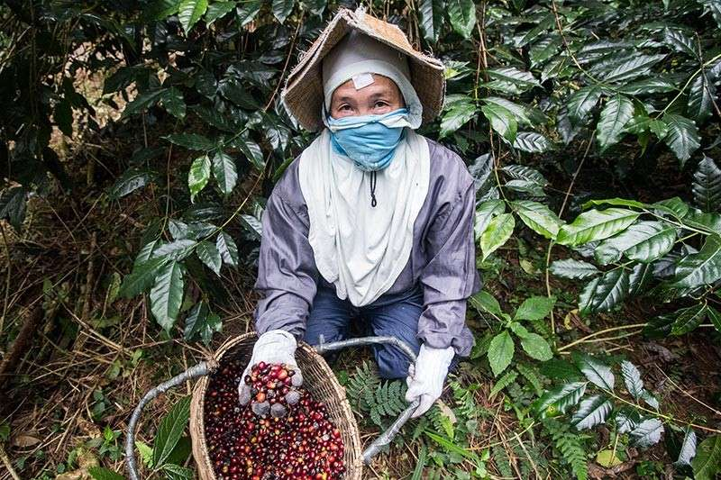 BENGUET. A coffee farmer harvests coffee beans at the Benguet State University (BSU) organic Arabica coffee farm in Bektey, Longlong, Puguis, La Trinidad, Benguet. (Photo by Jean Nicole Cortes)