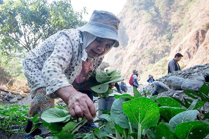BAGUIO. A local farmer from Camp 6, Tuba Benguet harvests her organically grown Japanese Pechay planted along the Bued River. Agriculture in Cordillera remains the top economic driver posting 5.1 percent growth together with hunting, forestry and fishing in 2017. (Photo by Jean Nicole Cortes)
