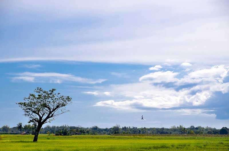 NEGROS. The vast farm at Valladolid town forms part of about 65,000-hectare rice production area in Negros Occidental. (Mark Cabrillos)