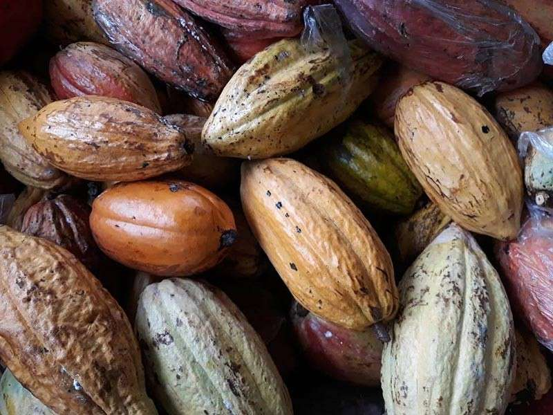 Davao Cacao. (File photo)