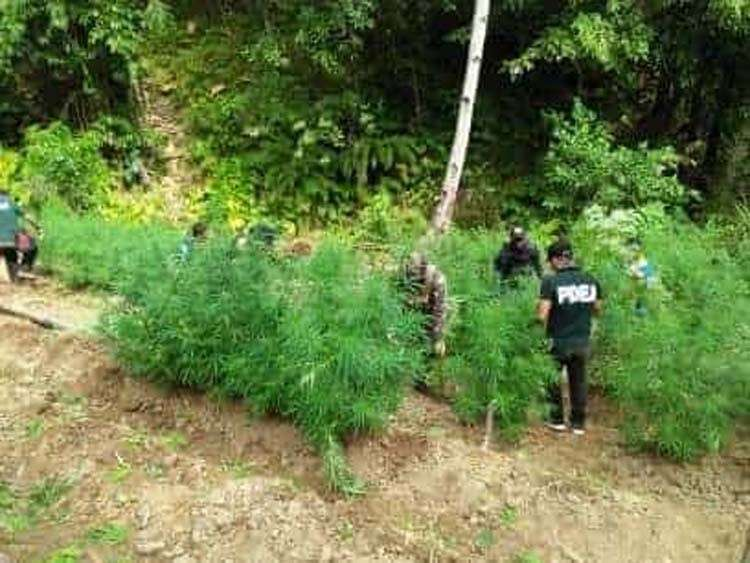 CEBU. More than 20,000 fully grown marijuana plants were uprooted and burned by operatives of the Provincial Mobile Force Company (PMFC) of the Cebu Provincial Police Office, Balamban Police Station, and Philippine Drug Enforcement Agency (PDEA)- Central Visayas on Friday, February 22. (Contributed photo)