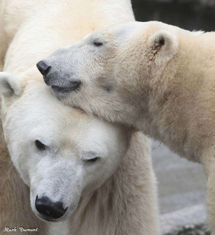 USA. This February 18  photo from the Cincinnati Zoo shows two polar bears, from left