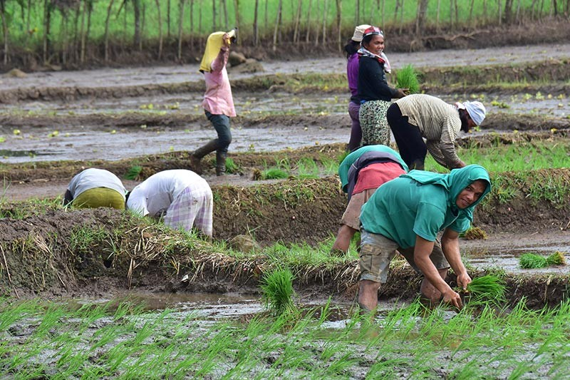 The Department of Agriculture has started validating rice and corn farmers in the country using the farmer's database. (File photo)