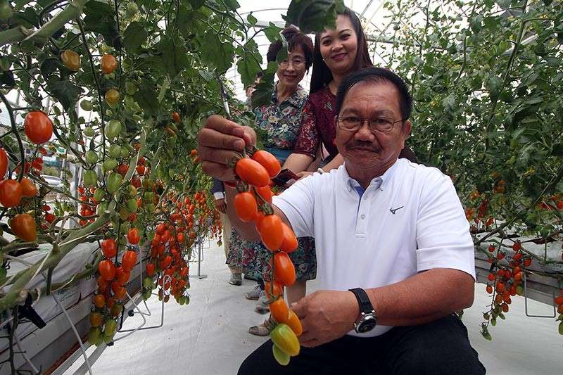 BAGUIO. Agriculture Secretary Manny Piñol harvests high quality tomatoes at the first smart greenhouse in the Philippines located at the Bureau of Plant Industry in Guisad, Baguio City. Piñol has vowed to give P130 million for farm to market roads in Benguet. (Photo by Jean Nicole Cortes)