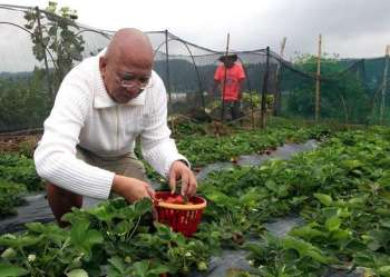 BENGUET. Chef Gerry Batac from Manila enjoys picking strawberries at La Trinidad's strawberry farm. Tourists get to harvest their own strawberries for P500 a kilo.  (Photo by Jean Nicole Cortes)