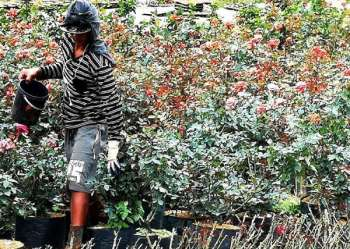 BENGUET. A flower farmer in Bahong, La Trinidad tends to his rose garden and goes about his other daily farm chores amid the threat of the El Niño phenomenon in the country. (Photo by Dave Leprozo Jr.)