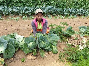 BUKIDNON. Giatiman sa vegetable picker ang mga utanon sulod sa Binahon Agroforestry sa Songco, Lantapan, Bukidnon. (Kris C. Sialana)