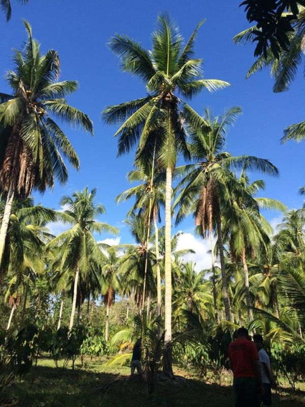 DAVAO. The Philippine Coconut Authority (PCA) regional office in Davao will distribute around 35,000 bags of fertilizers this year for coconut trees all over the region to maximize its production. (Photo by Lyka Casamayor)