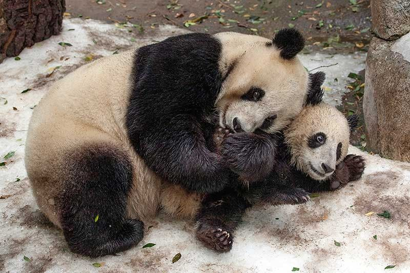 SAN DIEGO. This undated photo provided by San Diego Zoo Global shows giant pandas Bai Yun, a 27-year-old female, and her son, 6-year-old Xiao Liwu, at the San Diego Zoo in San Diego. (AP)