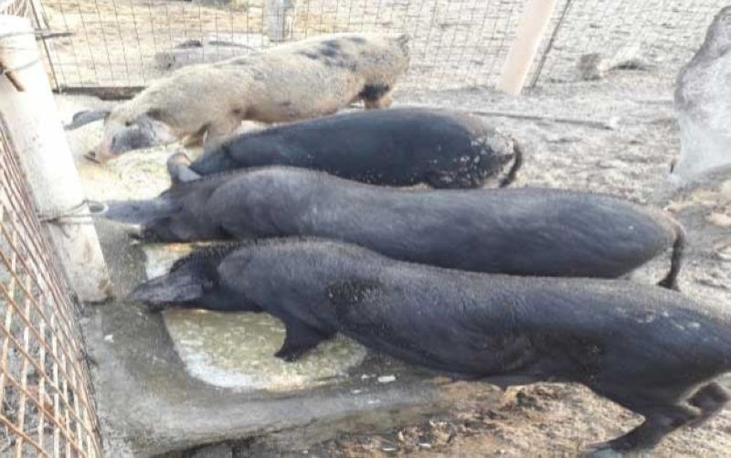 NEGROS. Some of the black pigs grown by raisers in Negros Occidental. (Contributed photo)