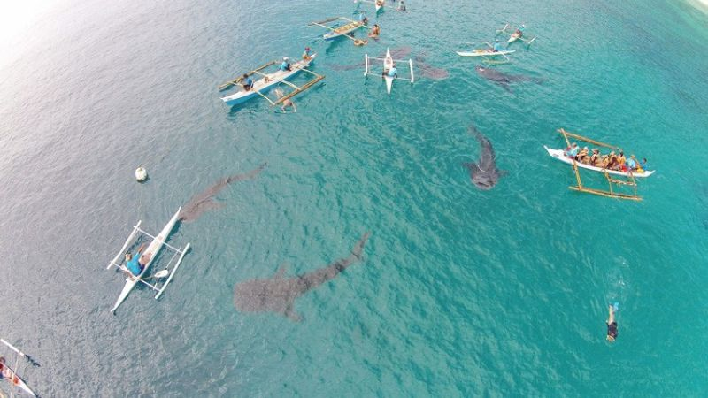 Whale Shark watching in Oslob, Southern Cebu. (SunStar Cebu/Jayjay Neri)
