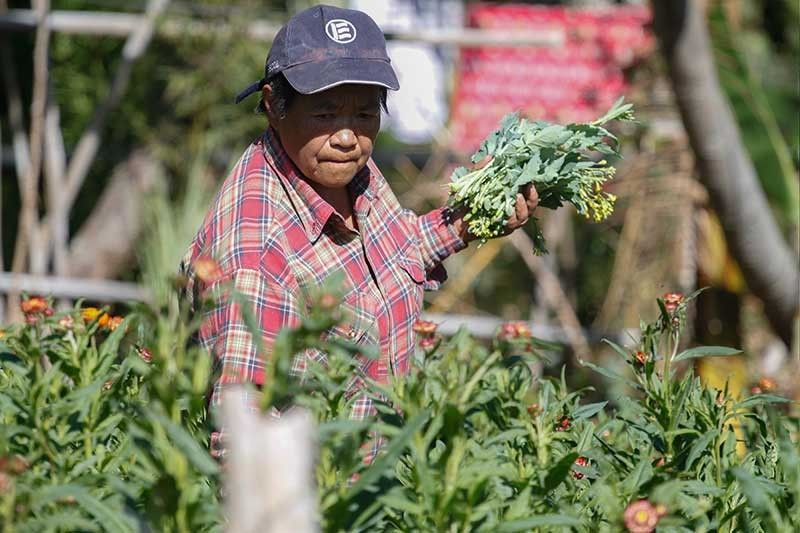 BAGUIO. Farmers harvest their crops as they brace for El Niño. Some 17 provinces in Luzon are forecast to experience drought, according to state weather bureau Philippine Atmospheric Geophysical and Astronomical Services Administration (Pagasa). (Photo by Jean Nicole Cortes)