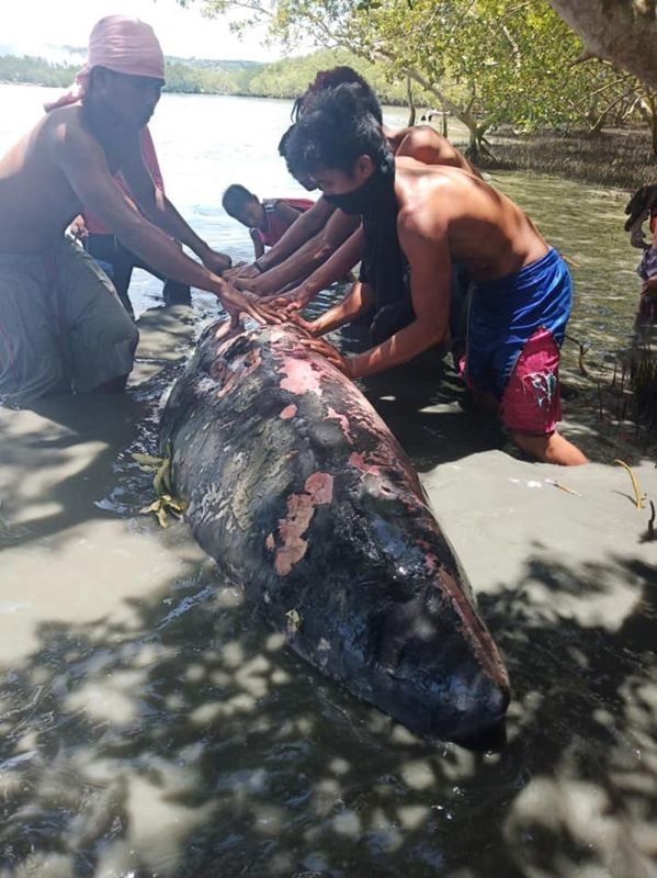 DAVAO. A female Pygmy Sperm Whale was found floating along the coastline of Calderon Seaside Kilometer 22, Bucana, Bunawan District, Davao City last March 30. (Photo by Neza Pasay)