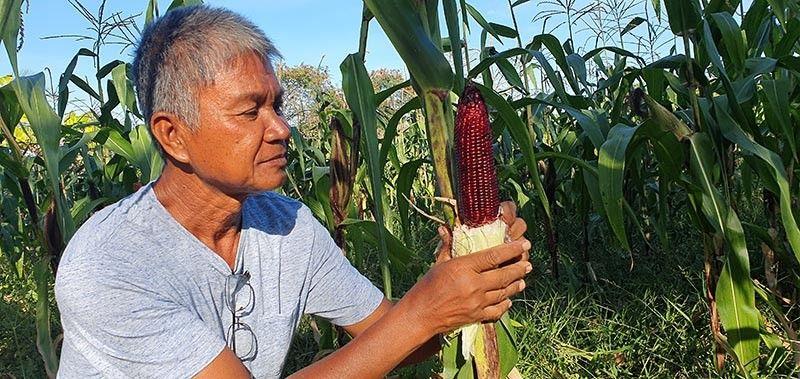 AKLAN. Nestor Cesar shows his purple corn, as his plantation has been affected by the El Nino phenomenon. (Jun N. Aguirre)