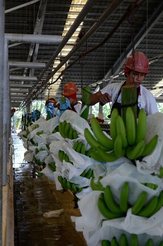 DAVAO. Bananas remained the top export commodity in the third quarter of  2018 with an export value of $455.9 million compared to $195.1 million in 2017. (File Photo)