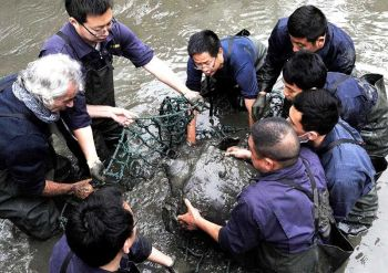 CHINA. In this April 7, 2016, photo, researchers lift a female Yangtze giant softshell turtle out of the water at a zoo in Suzhou in eastern China's Jiangsu province. The only known female member of one of the world's rarest turtle species has died at a zoo in southern China, officials said Sunday, April 14, 2019. (Chinatopix via AP)